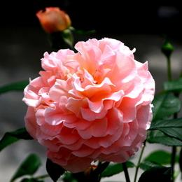 1-17.05.15 四季の郷公園のバラ-10.jpg