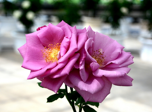 1-17.05.15 四季の郷公園のバラ-11.jpg