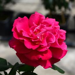 1-17.05.15 四季の郷公園のバラ-12.jpg
