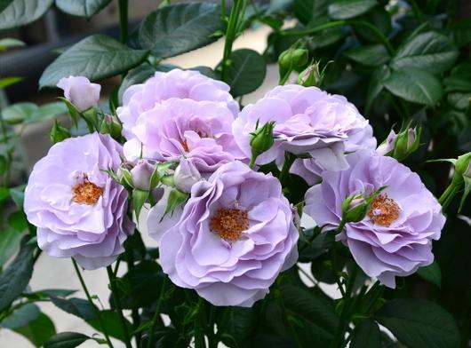1-17.05.15 四季の郷公園のバラ-5.jpg