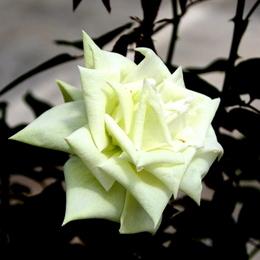 1-17.05.15 四季の郷公園のバラ-7.jpg
