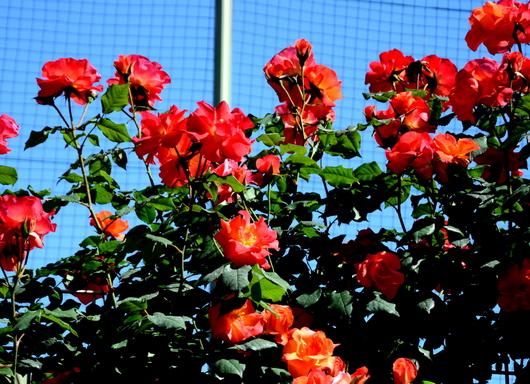 1-17.05.21 湊緑地公園のバラ-12.jpg