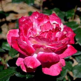 1-17.05.21 湊緑地公園のバラ-7.jpg