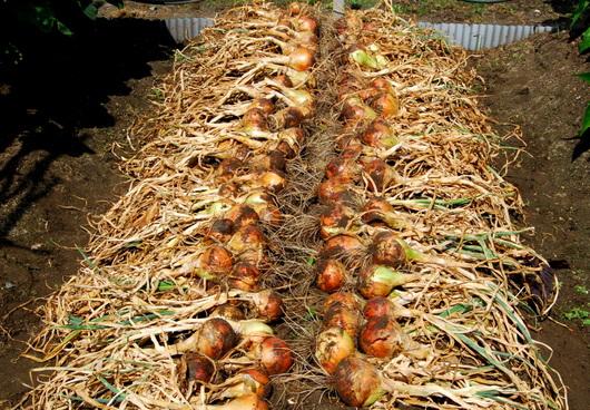1-17.06.17 玉葱収穫-1.jpg