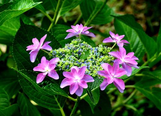 1-17.06.26 紫陽花-12.jpg