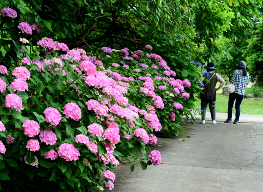 1-17.06.26 紫陽花-2.jpg