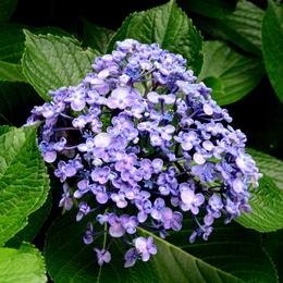 1-17.06.26 紫陽花-5.jpg