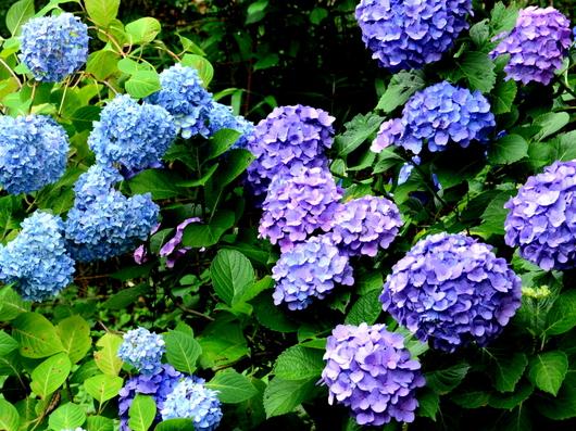 1-17.06.26 紫陽花-6.jpg