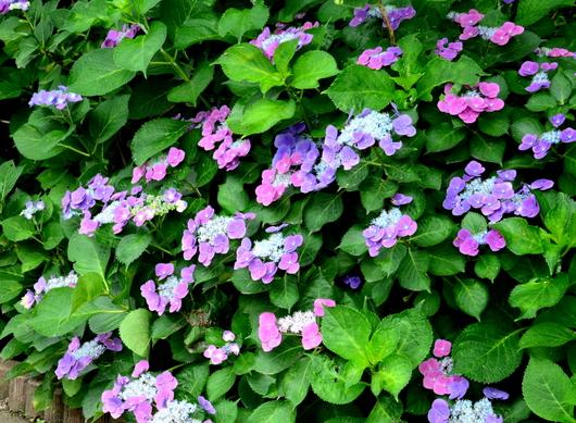 1-17.06.26 紫陽花-7.jpg