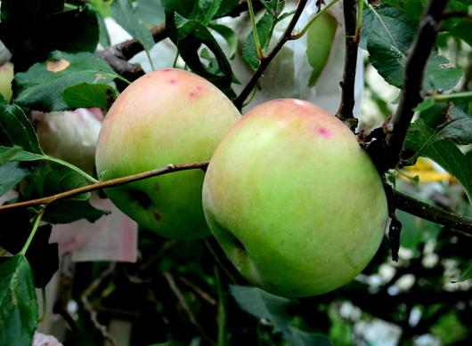 1-17.09.24 リンゴ.jpg