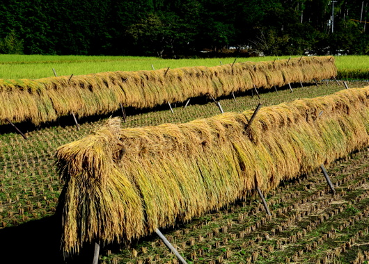 1-17.09.24 稲の天日干し.jpg