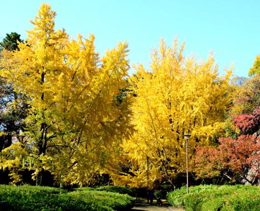 1-17.11.30 銀杏の黄葉-1.jpg