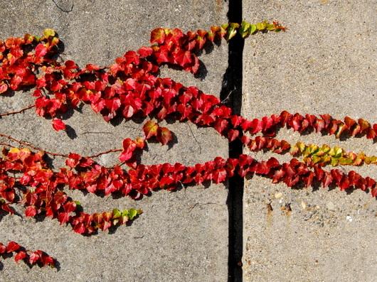 1-17.12.12 蔦の紅葉-2.jpg