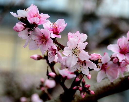 1-18.03.02 桃の花-1.jpg