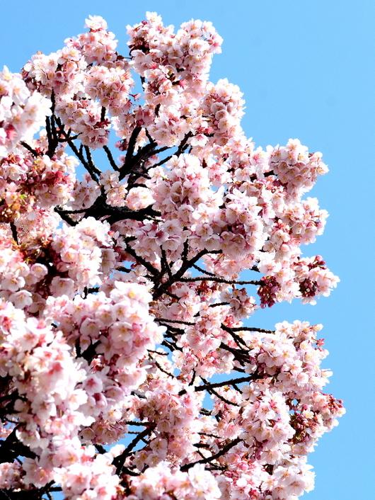 1-18.03.08 嘉ヶ作の桜-1.jpg