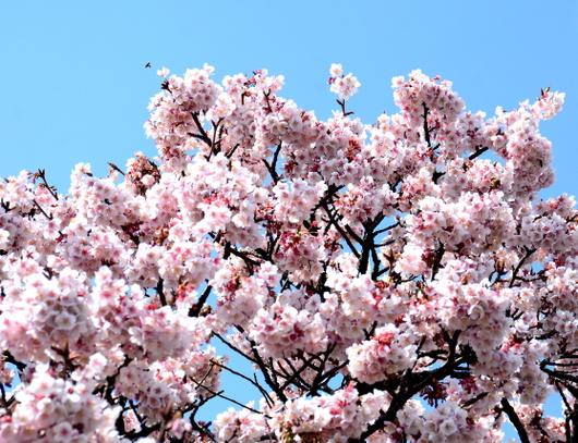 1-18.03.08 嘉ヶ作の桜-2.jpg