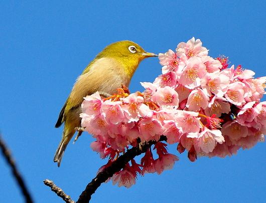 1-18.03.08 嘉ヶ作の桜-3.jpg