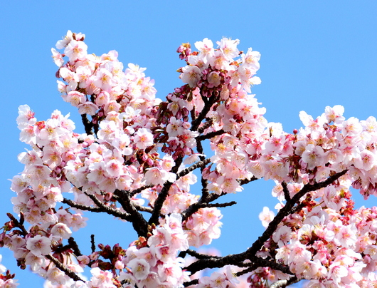 1-18.03.08 嘉ヶ作の桜-4.jpg