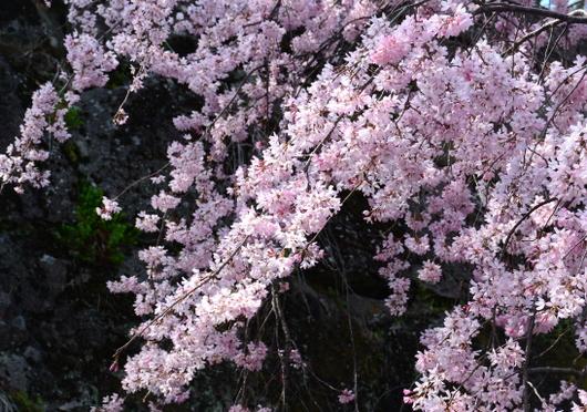 1-18.03.26 和歌山(城)公園の枝垂桜-1.jpg