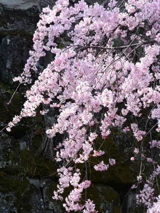1-18.03.26 和歌山(城)公園の枝垂桜-2.jpg