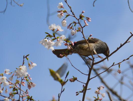 1-18.03.26 和歌山(城)公園の桜-2.jpg