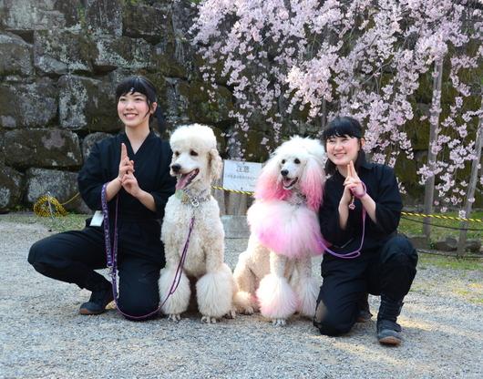 1-18.03.29 和歌山(城)公園の桜-10.jpg