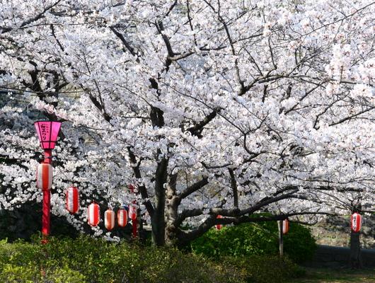 1-18.03.29 和歌山(城)公園の桜-3.jpg