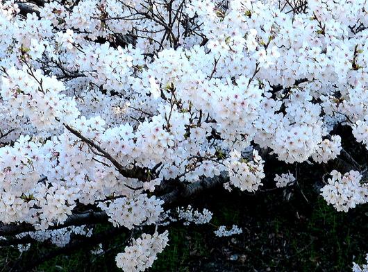 1-18.03.29 和歌山(城)公園の桜-9.jpg