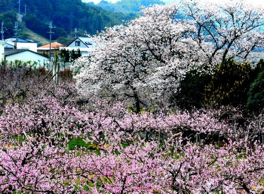 1-18.04.01 桃山町の桃-1.jpg