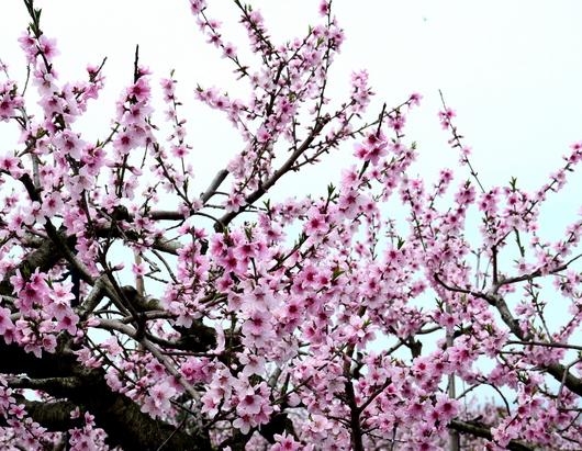 1-18.04.01 桃山町の桃-2.jpg