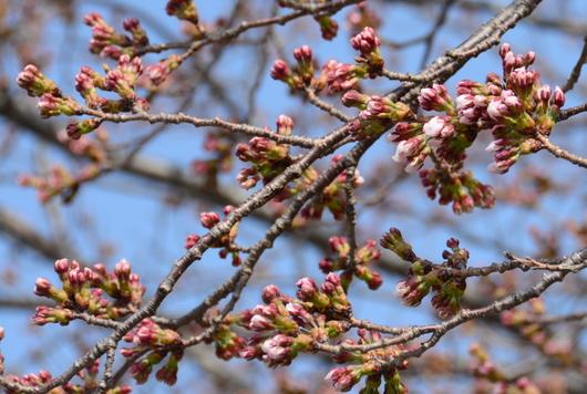 1-18.04.07 河口湖の桜.jpg