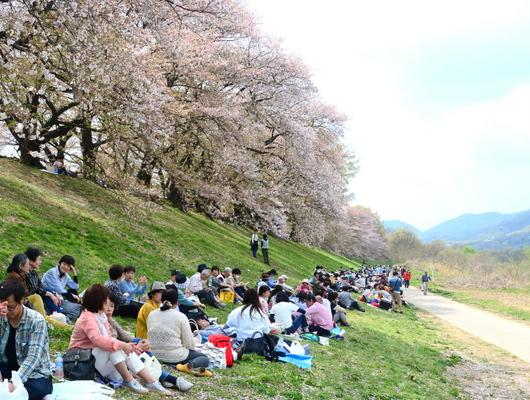 1-18.04.11 背割堤の桜-1.jpg