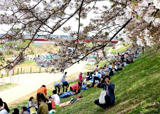 1-18.04.11 背割堤の桜-2.jpg