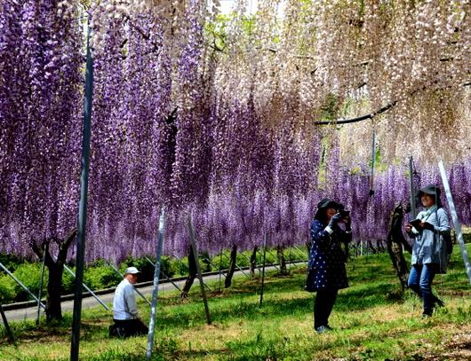 1-18.04.28 有田川町の藤-8.jpg