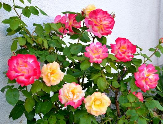 1-18.05.13 バラ.jpg