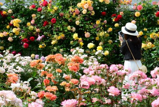 1-18.05.25 緑化センターの薔薇-1.jpg