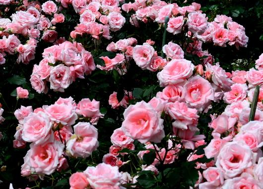1-18.05.25 緑化センターの薔薇-2.jpg