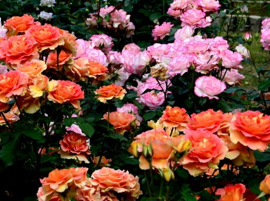 1-18.05.25 緑化センターの薔薇-3.jpg