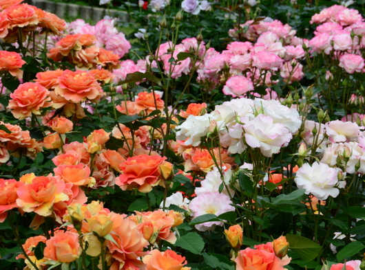 1-18.05.25 緑化センターの薔薇-5.jpg