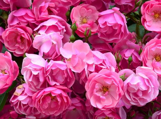 1-18.05.25 緑化センターの薔薇-8.jpg