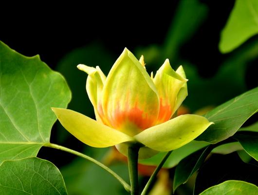 1-18.05.28 百合の木の花-1.jpg