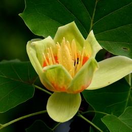 1-18.05.28 百合の木の花-3.jpg