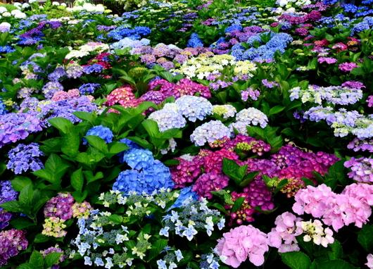 1-18.06.03 上木さんちの紫陽花-1.jpg