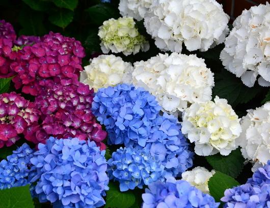 1-18.06.03 上木さんちの紫陽花-6.jpg