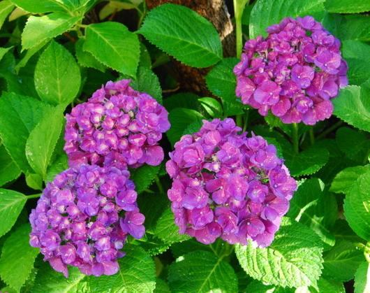 1-18.06.09 我が家の紫陽花-1.jpg