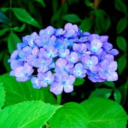 1-18.06.09 我が家の紫陽花-2.jpg