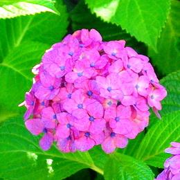 1-18.06.09 我が家の紫陽花-3.jpg