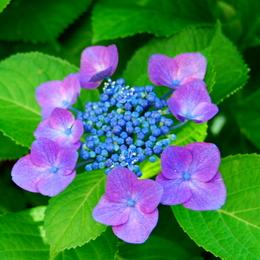 1-18.06.09 我が家の紫陽花-4.jpg