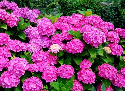 1-18.06.21 菜園の紫陽花.jpg