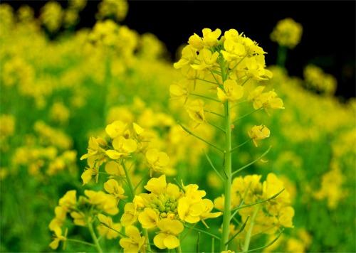 s-09.01.03 菜の花2.jpg